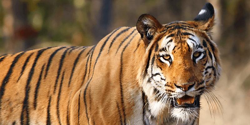 Tiger - Bagh